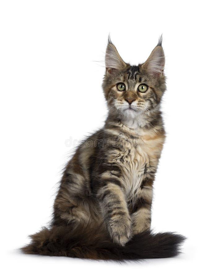 Joli chaton de Maine Coon de tortie sur le blanc photographie stock libre de droits