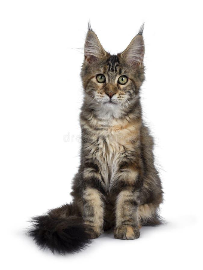 Joli chaton de Maine Coon de tortie sur le blanc image libre de droits