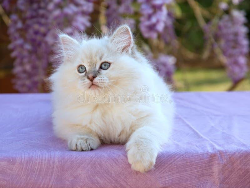 Joli chaton mignon de Ragdoll avec des fleurs de glycines photo libre de droits