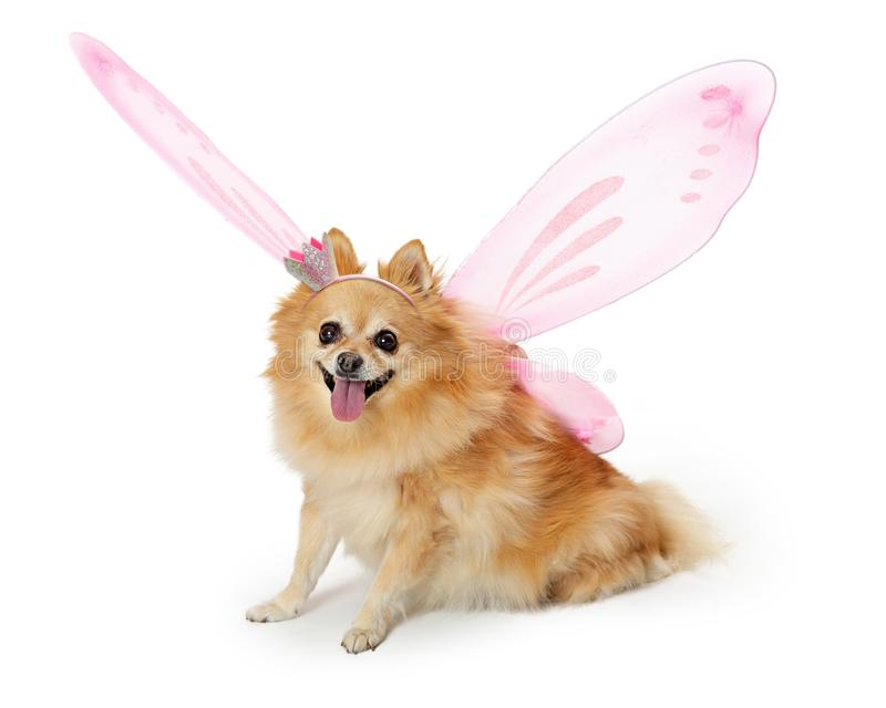 Joli chien de Pomeranian utilisant le costume féerique photos libres de droits