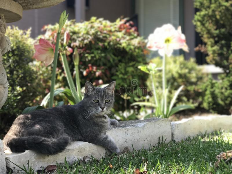 Joli Gray Cat photo stock