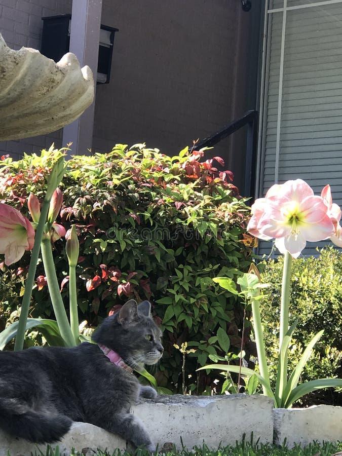 Joli Gray Cat photographie stock libre de droits