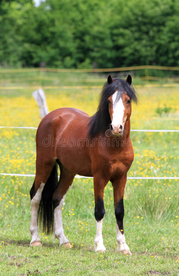Joli poney photos stock