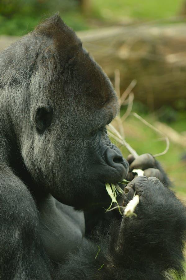 Joli portrait d'un gorille image stock