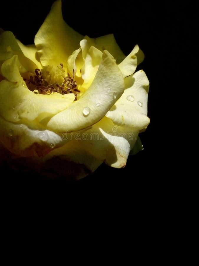 Jolie et belle paix de Rose jaune image stock