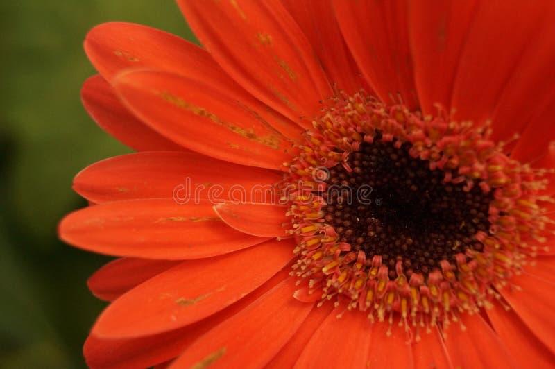 Jolie fleur orange intense images libres de droits