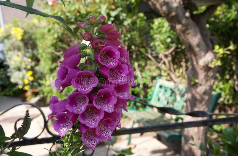 Jolies fleurs pourpres de digitale dans un jardin anglais estival photo libre de droits