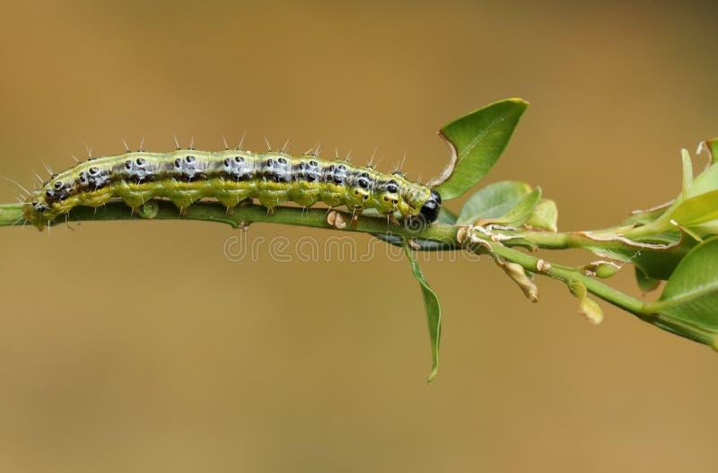 Jolis perspectalis de Caterpillar un Cydalima de mite d'arbre de boîte alimentant sur un buisson de boîte au R-U photographie stock libre de droits