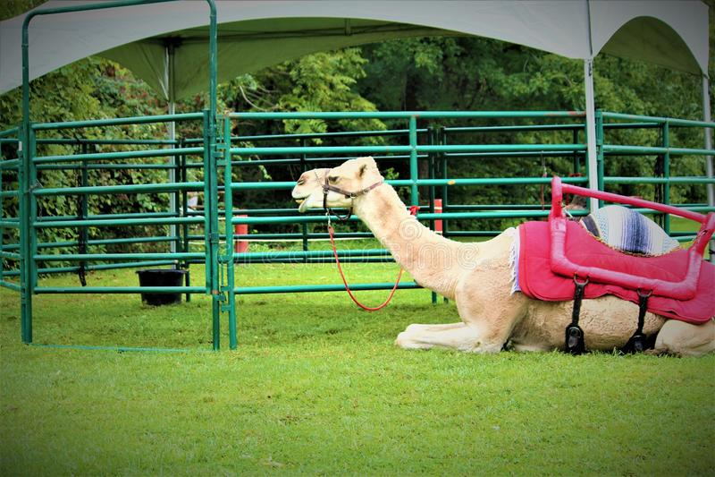 Jolly Camel imagem de stock
