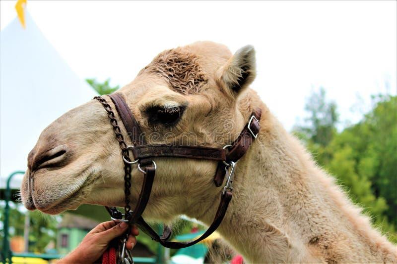 Jolly Camel foto de stock royalty free