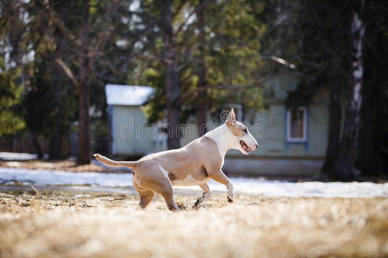 Jolly dog running and playing. In the sun in the sand and grass stock photos