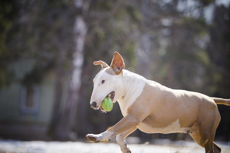 Jolly dog running and playing. In the sun in the sand and grass royalty free stock photography