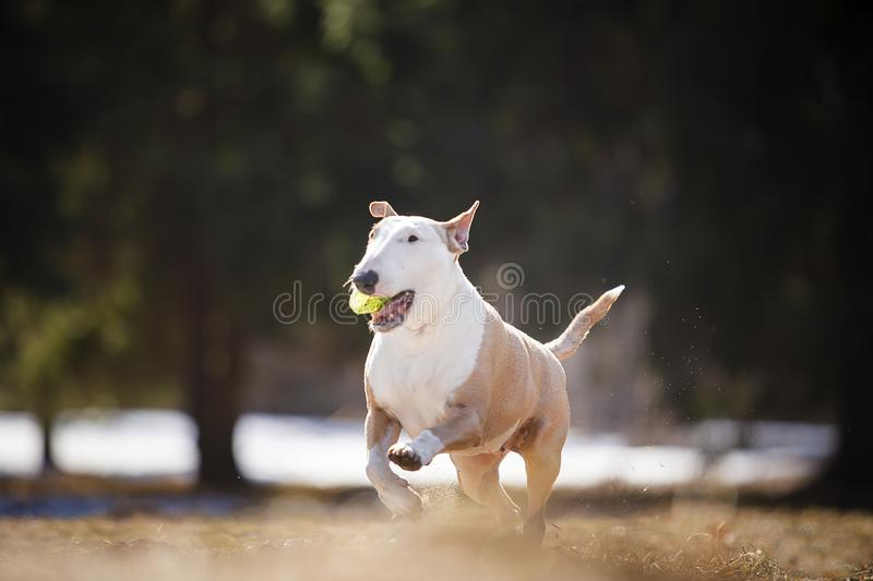 Jolly dog running and playing. In the sun in the sand and grass stock photography