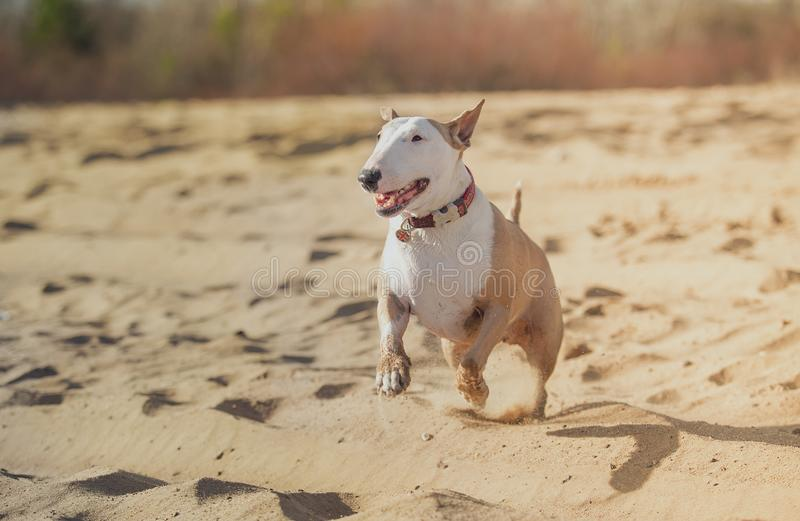 Jolly dog running and playing. In the sun in the sand and grass royalty free stock photo