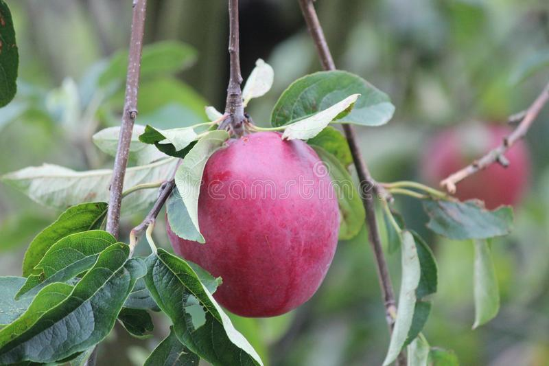 Jonagold apple hanging in the tree, partly eaten by jackdaw in the summer. stock photography
