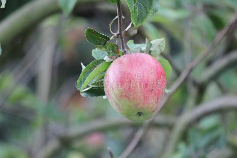 Jonagold apple hanging in the tree, partly eaten by jackdaw in the summer. royalty free stock photography