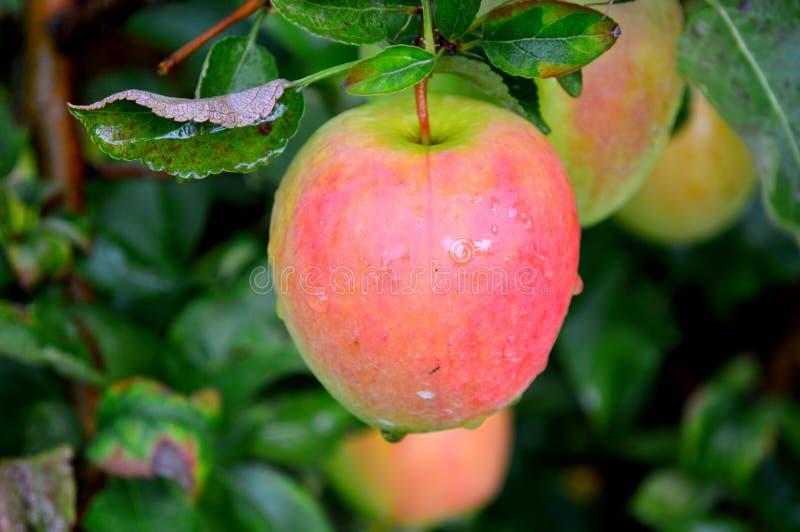 Jonagold Apple stock photo
