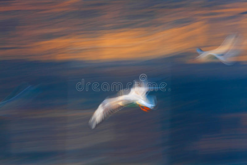 Jonathan Livingston Seagull royalty free stock images