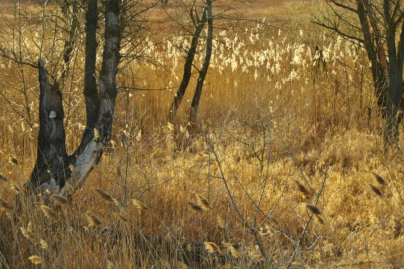 Jonc de Brown et les branches d'arbre avec le polypore au coucher du soleil images libres de droits