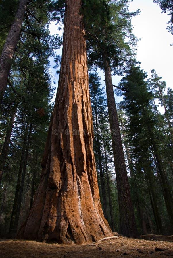 Joncteur réseau de séquoia image libre de droits