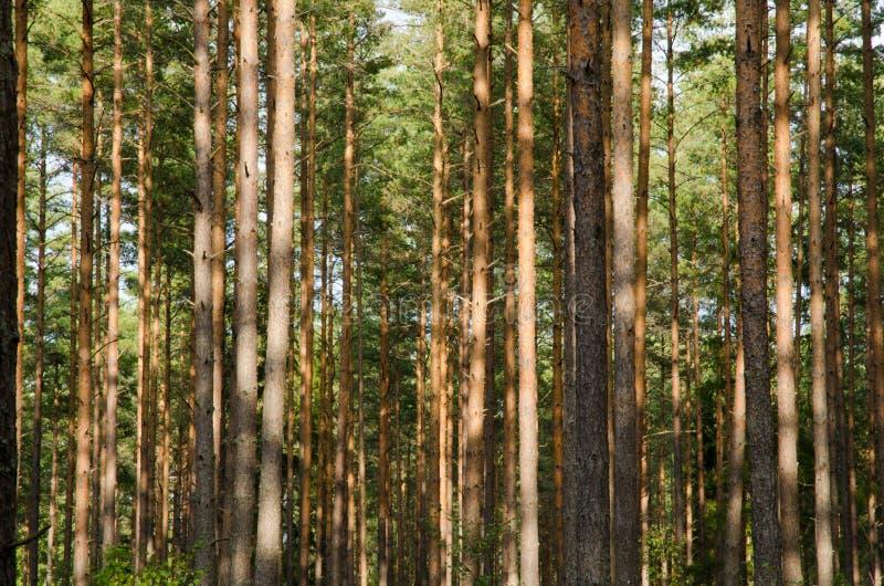 Joncteurs réseau de forêt de pin photos libres de droits