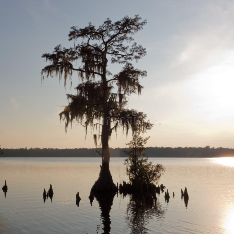Jones Lake Cypress Tree Taxodium distichum NC USA royaltyfria foton