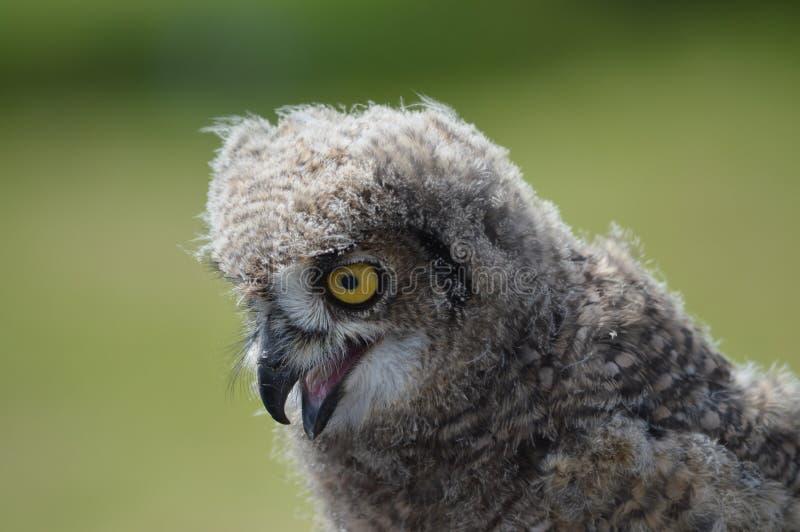 Jong Afrikaans Eagle Owl stock afbeeldingen