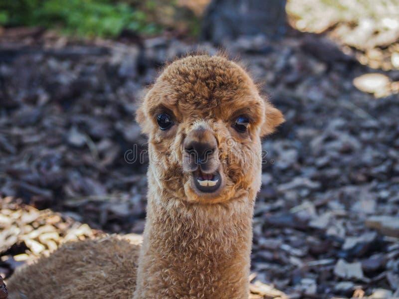 Jong alpacaportret stock afbeeldingen