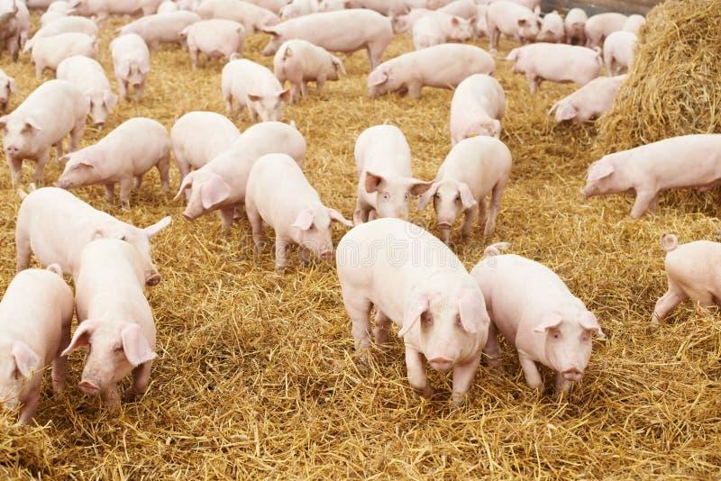 Jong biggetje op hooi bij varkensfokkerij
