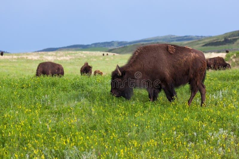 Jong Bison Grazing met Kudde stock afbeelding