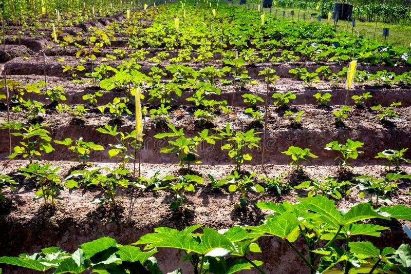 Jong boompje lange aubergine stock foto's