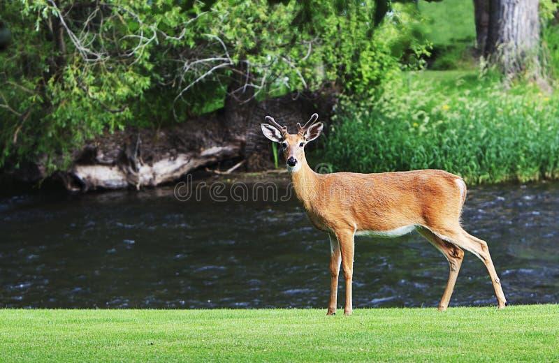 Jong Buck Mule Deer Standing dichtbij Rivier royalty-vrije stock fotografie