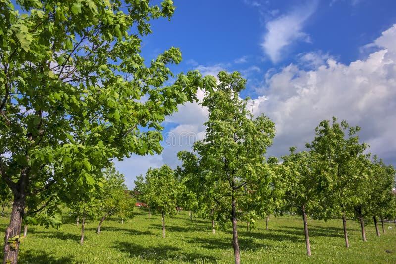 Jong eiken groveYoung eiken bosje in het park op een zonnige de lentedag stock foto's