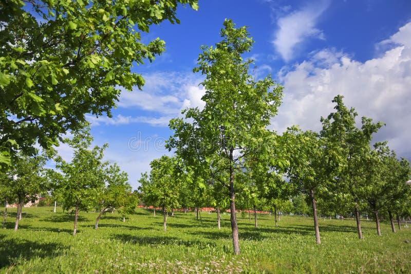 Jong eiken groveYoung eiken bosje in het park op een zonnige de lentedag stock foto