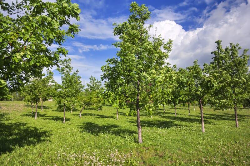 Jong eiken groveYoung eiken bosje in het park op een zonnige de lentedag stock afbeeldingen