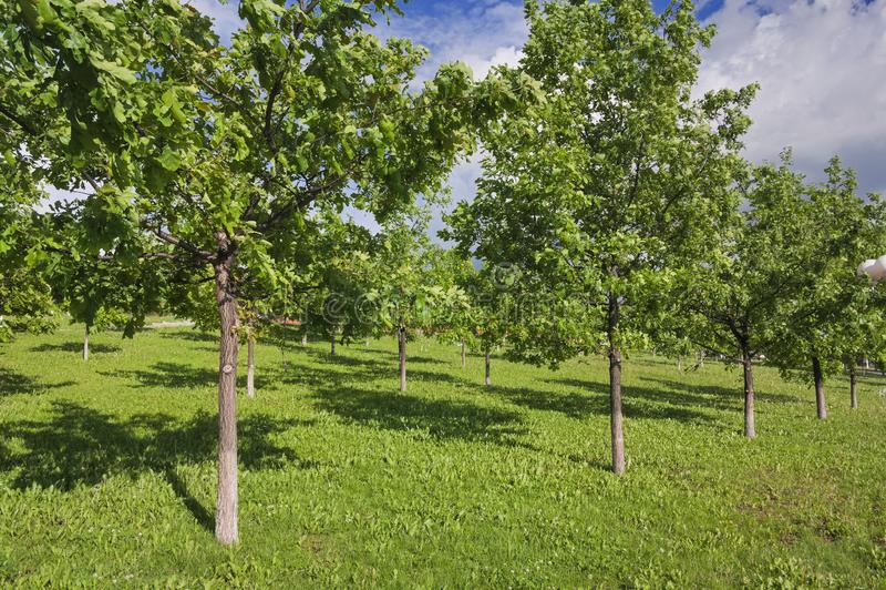 Jong eiken groveYoung eiken bosje in het park op een zonnige de lentedag royalty-vrije stock afbeelding
