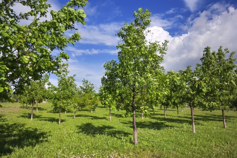 Jong eiken groveYoung eiken bosje in het park op een zonnige de lentedag stock afbeelding
