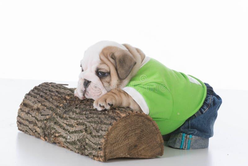 Jong Engels buldogpuppy die op logboek rusten stock afbeelding