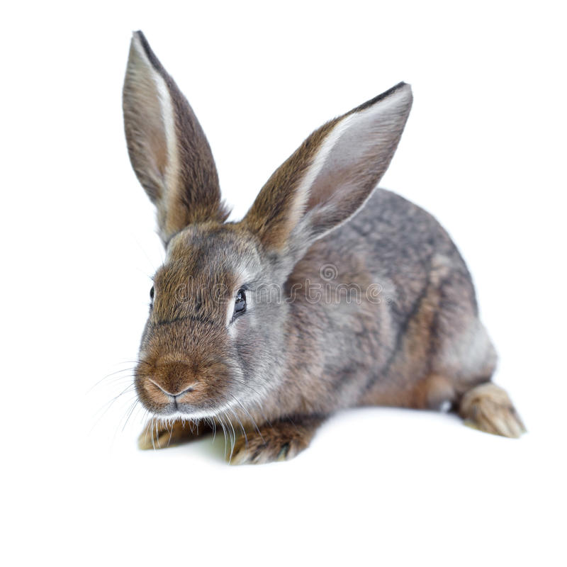 Jong Europees bruin konijn op witte achtergrond royalty-vrije stock foto's