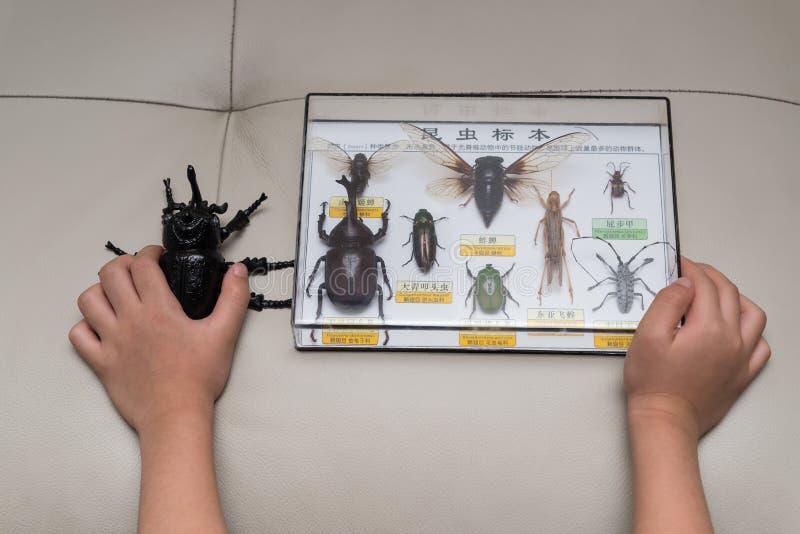 Jong geitje die een proefkever controleren tegen een doos de inzameling van insectspecimens royalty-vrije stock afbeeldingen