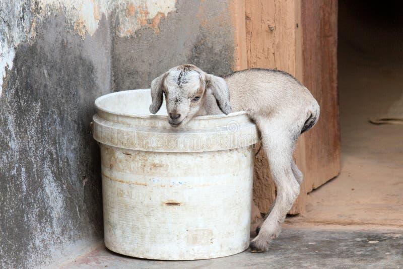 Jong geitje in emmer wordt geplakt die royalty-vrije stock foto