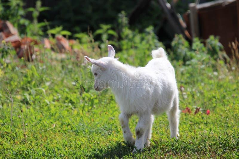 Jong geitje op dorpsstraat stock foto