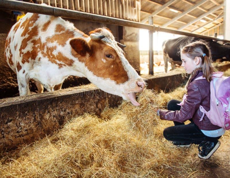 Jong geitje voedende koe royalty-vrije stock afbeeldingen