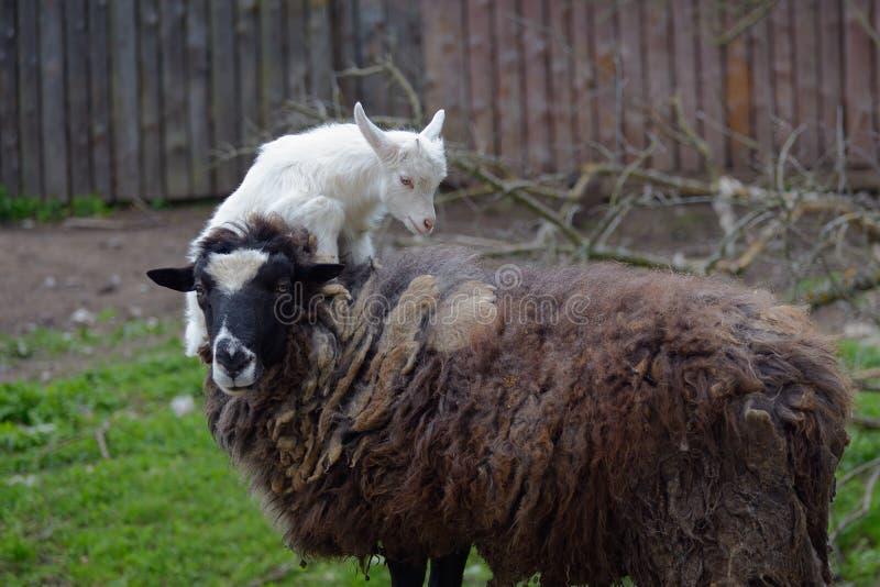 Jong geitjesprongen op een schaap royalty-vrije stock fotografie