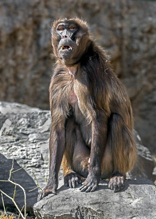 Jong Gelada-bavianenmannetje stock foto's
