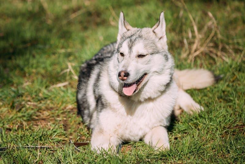 Jong Gelukkig Gray Husky Puppy Eskimo Dog Sitting in Groen Gras royalty-vrije stock foto