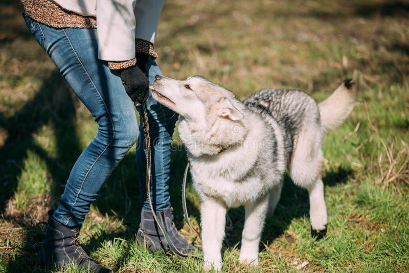 Jong Gelukkig Gray Husky Puppy Eskimo Dog Sitting in Groen Gras P royalty-vrije stock foto