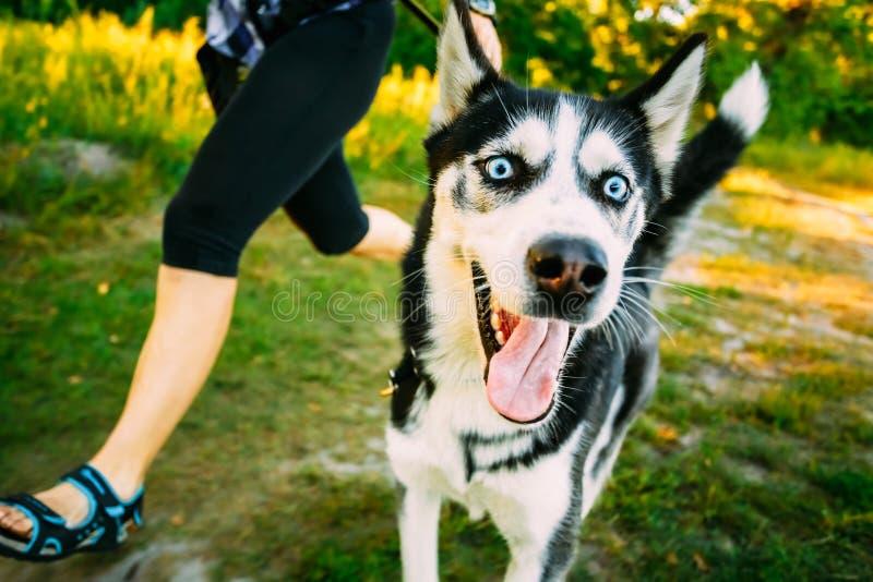 Jong Gelukkig Husky Eskimo Dog Runs Next aan Maitresse stock fotografie