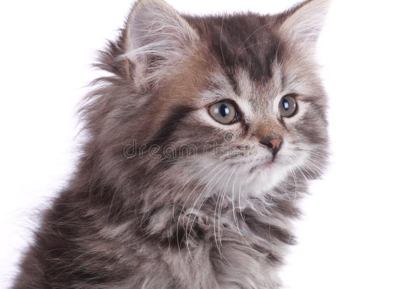 Jong grijs katje royalty-vrije stock afbeeldingen