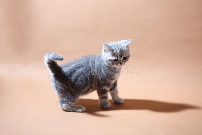 Jong grijs katje stock foto's